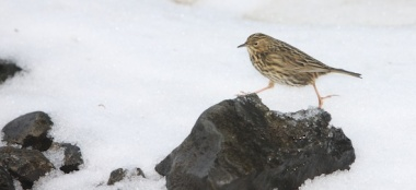Many pipits may not survive a harsh winter. Photos Mick Mackey.