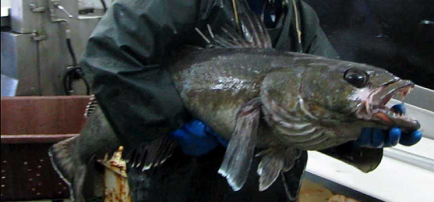 Large toothfish caught around South Georgia.